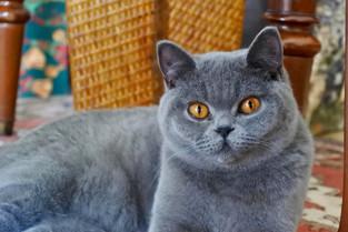 chat british shorthair femelle bleu