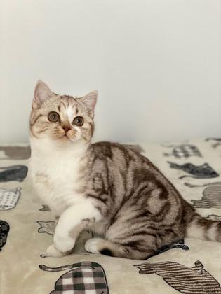 Chat femelle British Shorthair Chocolat Silver Blotched Tabby et Blanc
