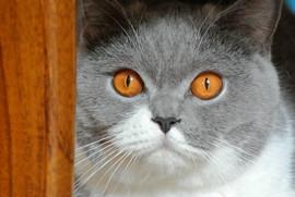 Chat british shorthair hair bicolor yeux oranges