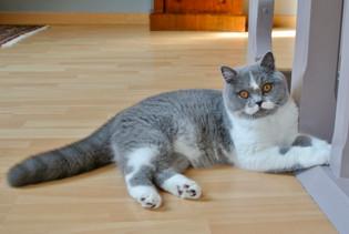Chat femelle british shorthair bicolor bleu et blanc