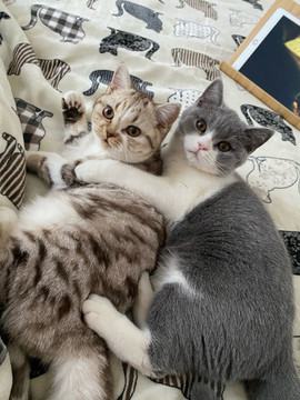 Chat British Shorthair Chocolat Silver Blotched Tabby et Blanc et chat bicolor