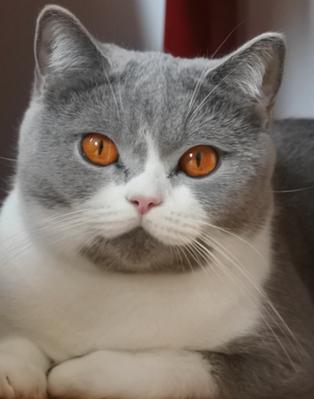 Chat adulte british shorthair bleu et blanc