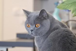 Chat british shorthair bleu yeux orange
