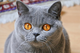 Femelle british shorthair adulte bleu yeux orange
