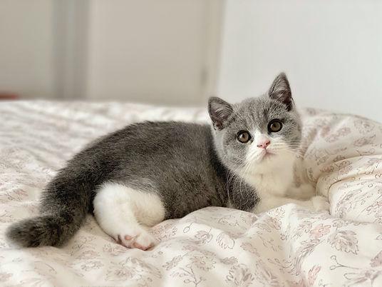 Bébé chaton british shorthair bicolor bleu et blanc