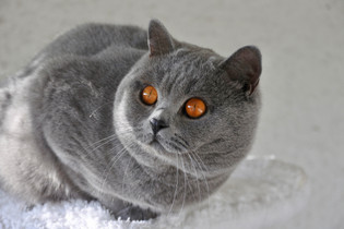 Chat british shorthair bleu adulte