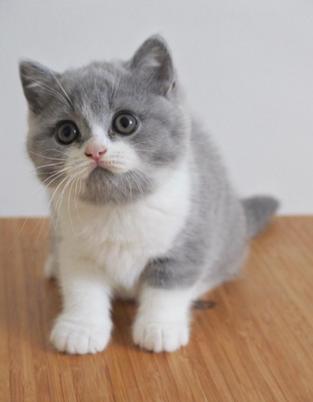 Chaton british shorthair bicolor bleu et blanc