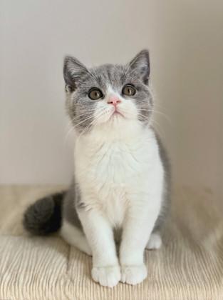 Chaton bleu et blanc british shorthair