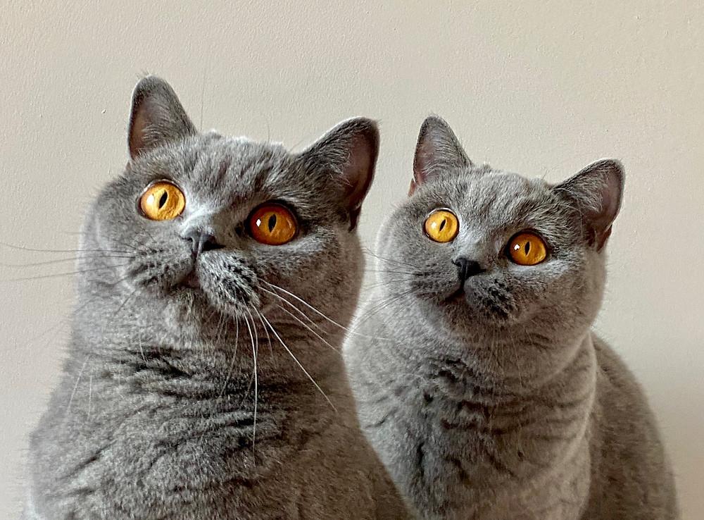 Chats femelles british shorthair bleu