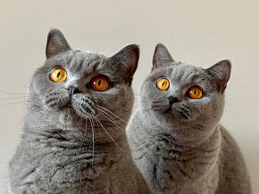 Tout savoir sur la race de chat British Shorthair