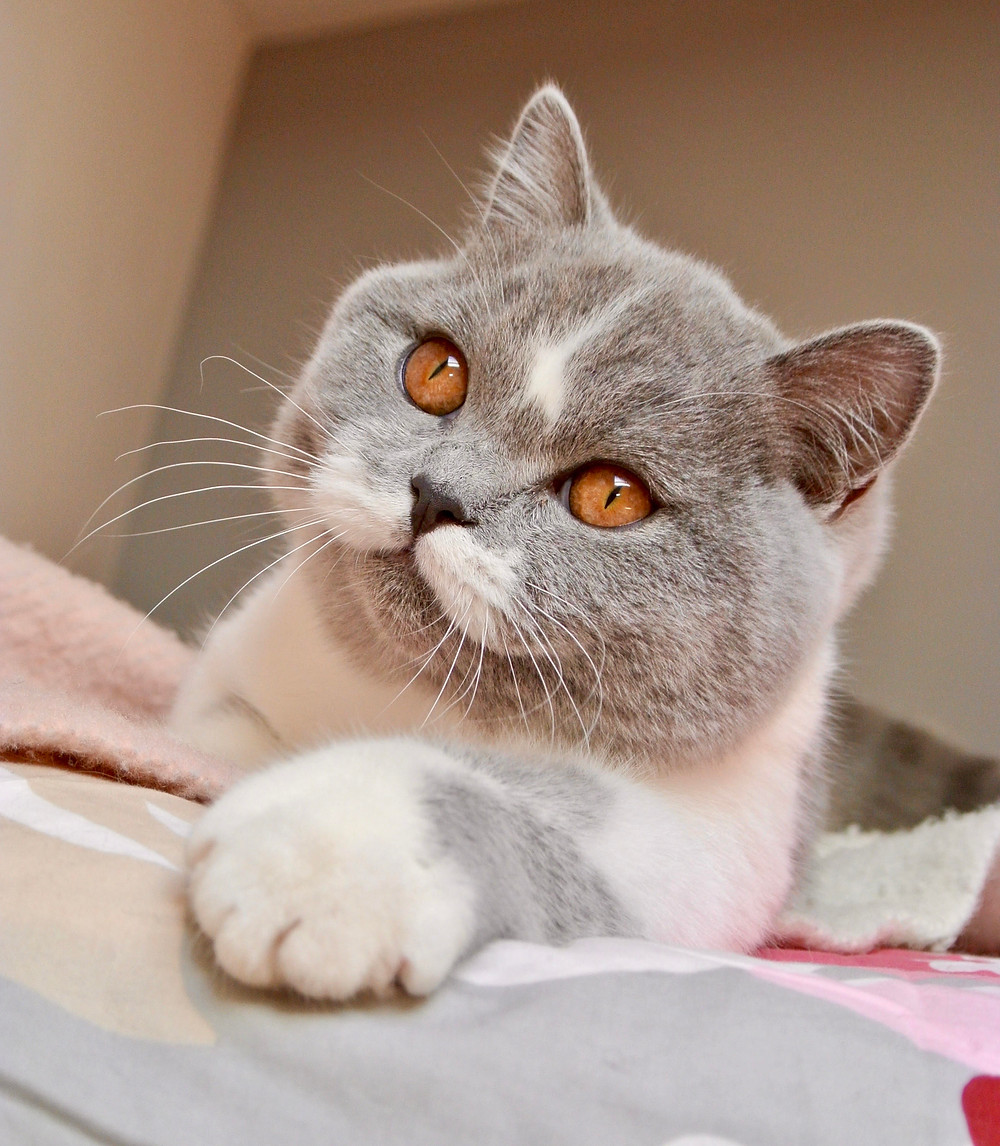 Chat adulte british shorthair bicolor bleu et blanc