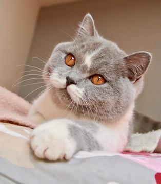 Femelle adulte british shorthair bleu et blanc