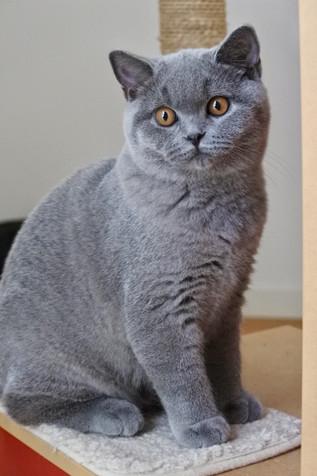 Chat british shorthair bleu