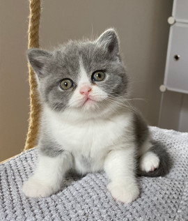 chaton british shorthair bleu et blanc
