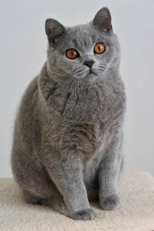 Chat british shrothair bleu