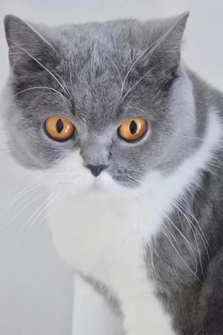 Chat adulte british shorthair femelle bicolor