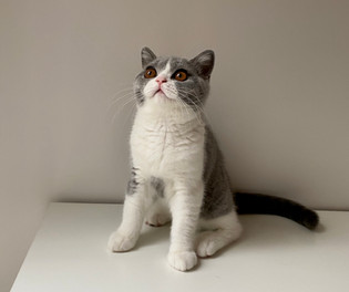 Chat british shorthair femelle bicolor