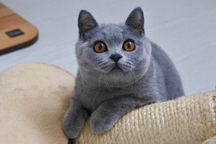 Chaton british shorthair bleu