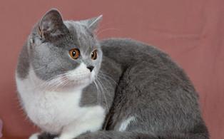 Femelle british shorthair bicolor bleu et blanc