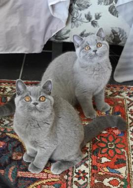 Deux chats adultes british shorthair bleu