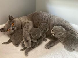 Maman chat et chatons british shorthair bleu