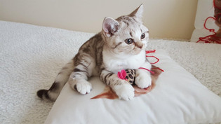 Chaton British Shorthair Chocolat Silver Blotched Tabby et Blanc