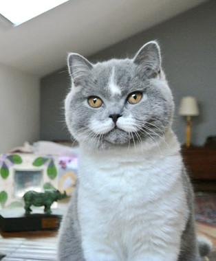 Chat british shorthair bicolor bleu et blanc