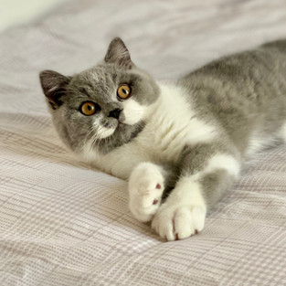 British shorthair male bleu et blanc
