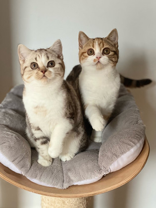 Chats femelles British Shorthair Chocolat Silver Blotched Tabby et Blanc