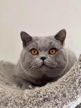 Chat british shorthair bleu male adulte