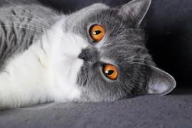 Chat british shorthair femelle bicolor yeux oranges