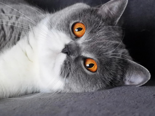 Qu'est-ce qu'un chat de race ?