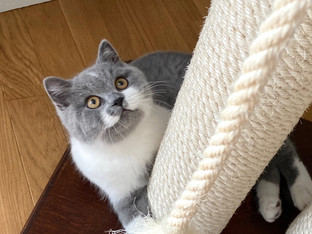 Chat british shorthair adulte bicolor
