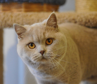 Chat adulte british shorthair fawn male