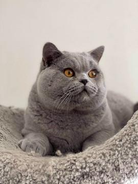 British shorthair chat adulte bleu