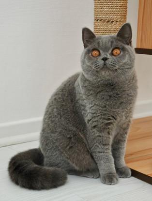 Chat femelle british shorthair bleu