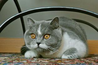 Chat british shorthair femelle bicolor bleu et blanc