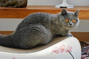 Chat adulte british shorthair bleu femelle