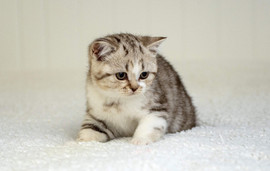 Chaton British Shorthair Blotched Tabby et Blanc