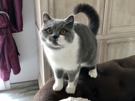Chat british shorthair bicolor male