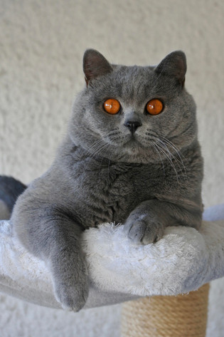 Chat british shrorthair adulte bleu