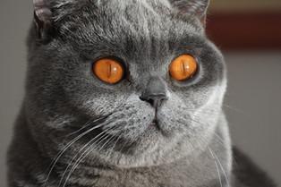 Chat adulte british shorthair bleu yeux orange