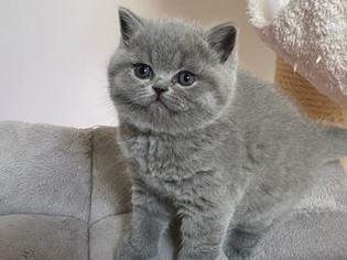 Chaton british shorthair bleu yeux bleu