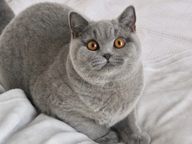 Femelle british shorthair bleu yeux orange
