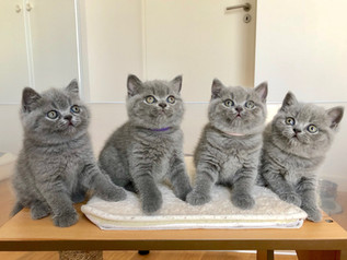 quatre chatons british shorthair bleu