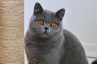 Femelle adulte british shorthair bleu