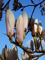 Magnolia 19 (1).JPG