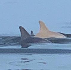 Cream color Dolphin