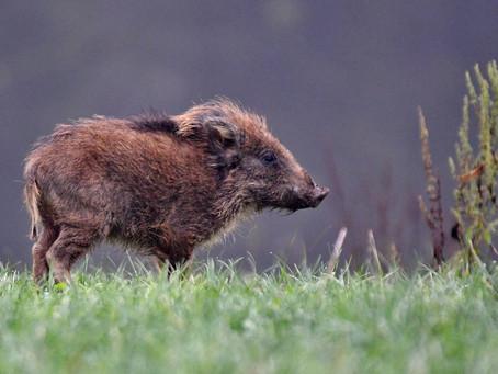 Feral Hogs in Vista Oaks.
