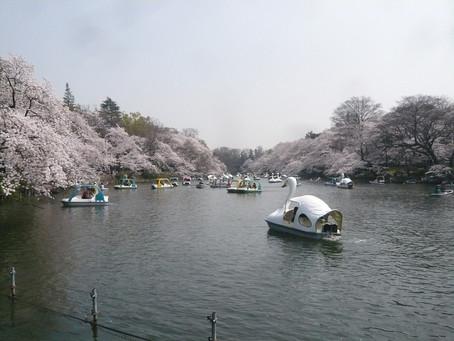 花見ポタリング・桜 井の頭公園
